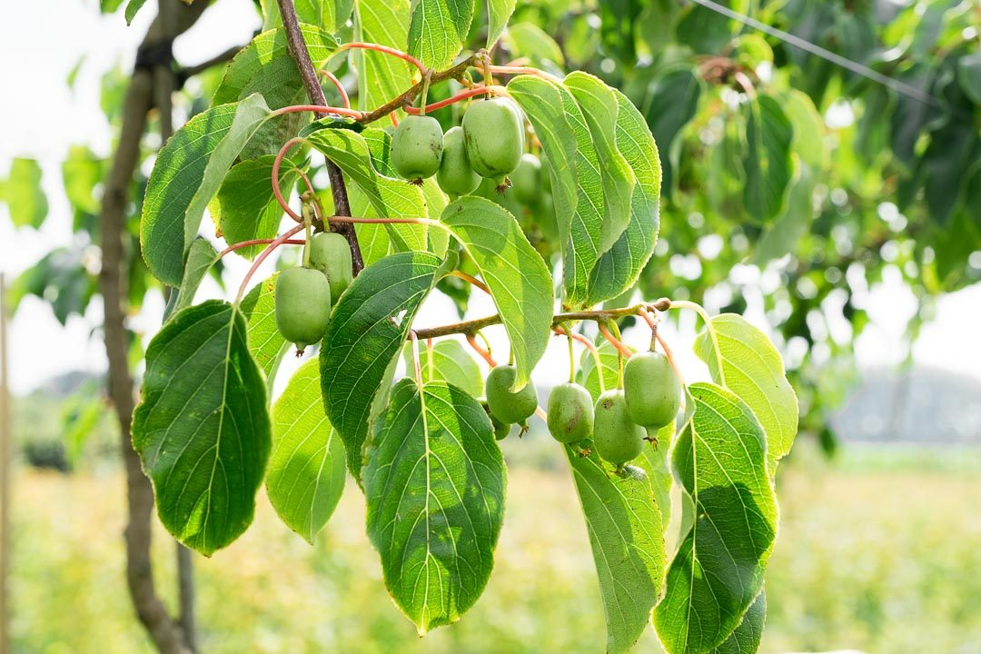 purfruit pluktuin oeselgem tuin
