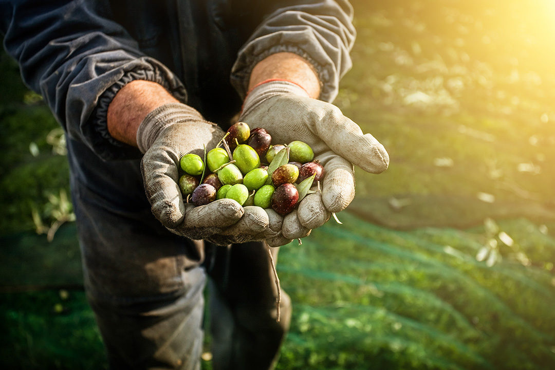 iStock. Farmer holding fresh olives in his hands.